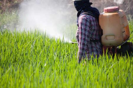 pesticides: farmer spraying pesticide in the rice field