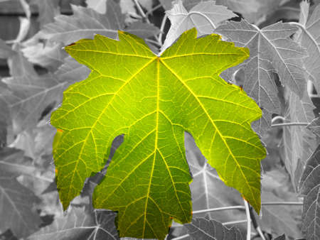 Closeup of a single backlit green maple leaf with a black and white background of maple leaves.