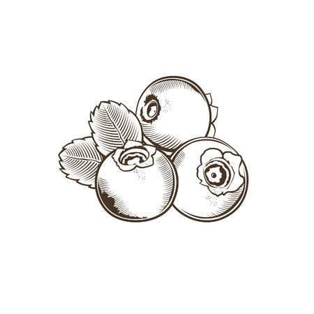 bilberry: Bilberry in vintage style. Line art vector illustration.