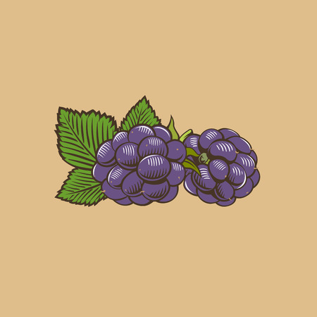bramble: Blueberry in vintage style. Colored vector illustration.