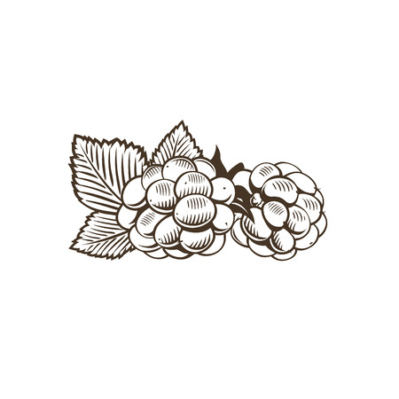 dewberry: Blackberry in vintage style. Line art vector illustration. Illustration