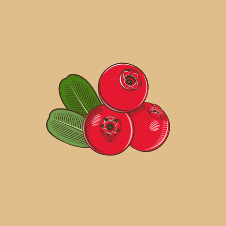 Cowberry in vintage style. Colored vector illustration. Illustration