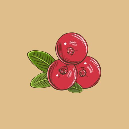 cranberry illustration: Cranberry in vintage style. Colored vector illustration.