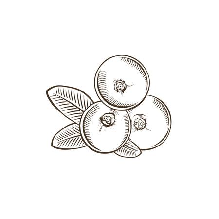 Cranberry in vintage style. Line art vector illustration. Illustration