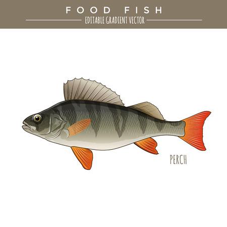 perch: Perch illustration. Food fish, editable gradient vector Illustration