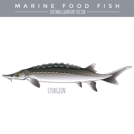 sturgeon: Sturgeon illustration. Marine food fish, editable gradient vector