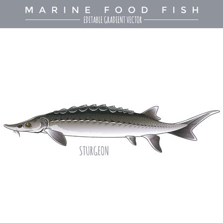 sturgeon: Sturgeon illustration. Marine food fish, editable gradient vector