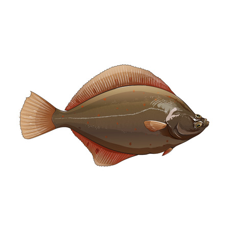 plaice: Seafood, isolated raster illustration on white background