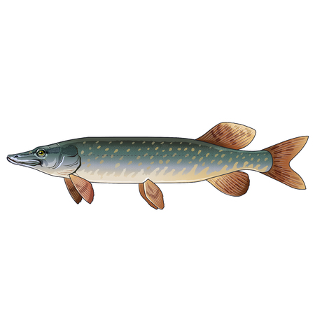 pike: Pike, isolated raster illustration on white background Stock Photo