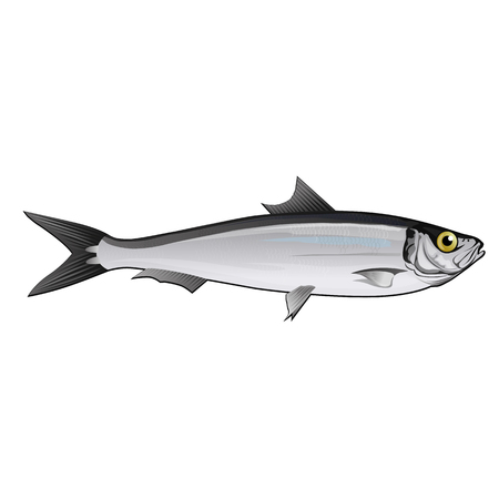 pilchard: Seafood, isolated raster illustration on white background