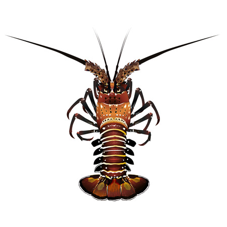 crawfish: Seafood, isolated raster illustration on white background