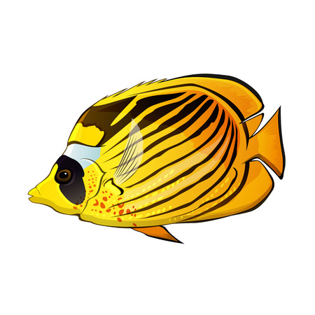chaetodon: Butterfly fish illustration on a white background Stock Photo