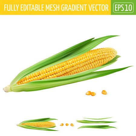 corny: Corn on white background. Vector illustration Illustration