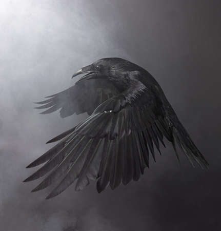 Big Black Raven in the smoke Banco de Imagens