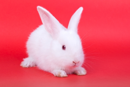 lapin blanc: Adorable lapin blanc sur fond rouge