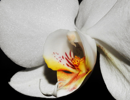 Detail of the parts of a beautiful white orchid, with the lip, stigma, ginostemo, anther and sepals. Macro photography of flowers.