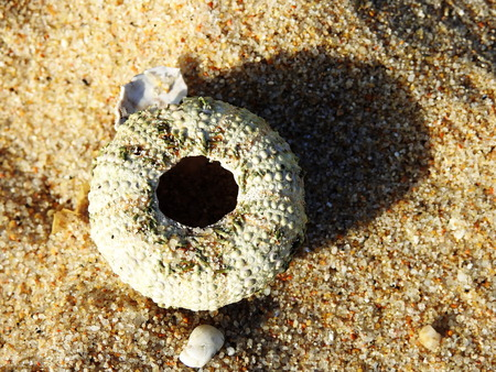 Carapace of a sea urchin