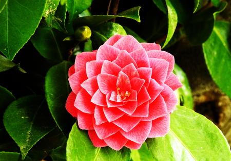Pretty oxalix versicolor flower. Stock Photo