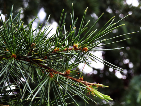 Branch of a spruce in detail