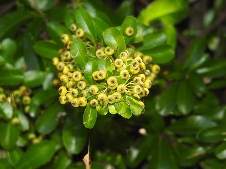 Yellow autumn berries Stok Fotoğraf