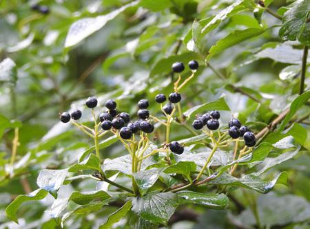 Black berries wet by rain