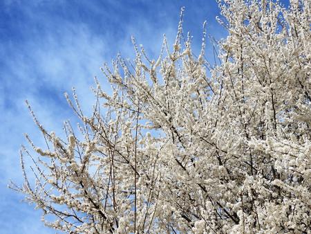 Trees blooming in spring