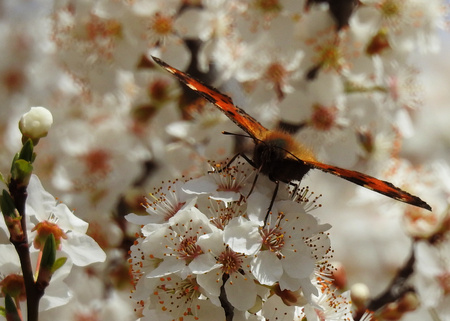 Detail of an orange butterfly on the flowers of a cherry tree
