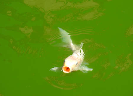 an albino carp swimming with its mouth open in the green water lake