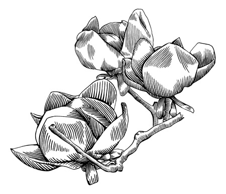 traced: Flowering branch of magnolia is hand drawn and live traced