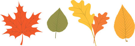 Assorted autumn tree leaves for fall foliage decorating.