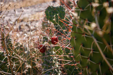desert ecosystem: Lots of Cactus with red fruit