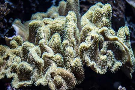 bubble sea anemone: Colorful underwater plants in an aquarium
