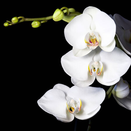 white orchid: white beautiful orchid in night time Stock Photo