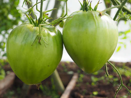 Two large green tomatoes in a greenhouse