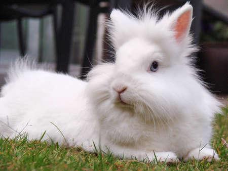 Conejo blanco que presenta
