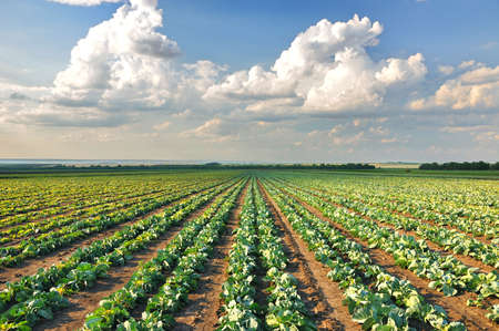 Cabbage growing in a row on the field