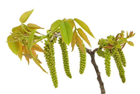 Walnut branch with young leaflets on the white background