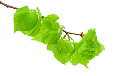 leaflets: Linden branch with young leaflets on the white background