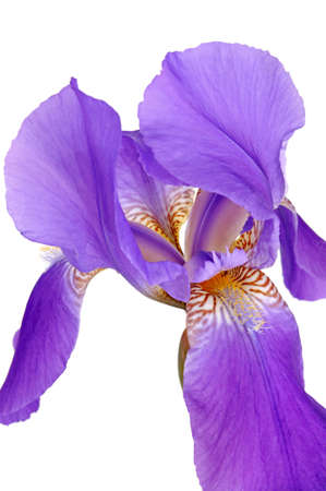 body scape: Flower violet iris isolated on a white background