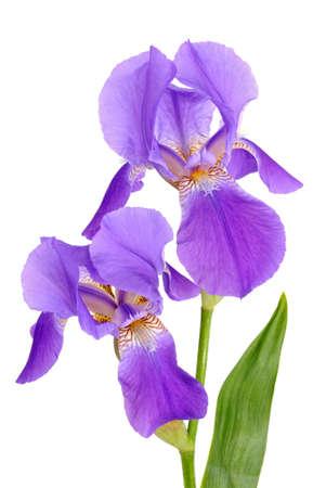 blueflag: Iris de violeta flor sobre el fondo blanco