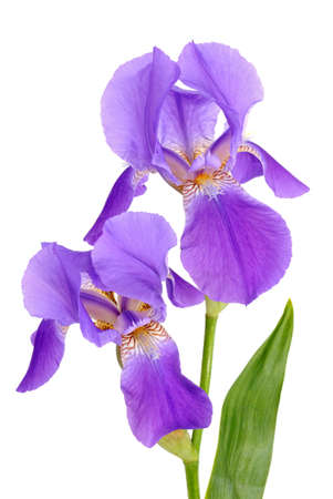 Violet flower iris on the white background
