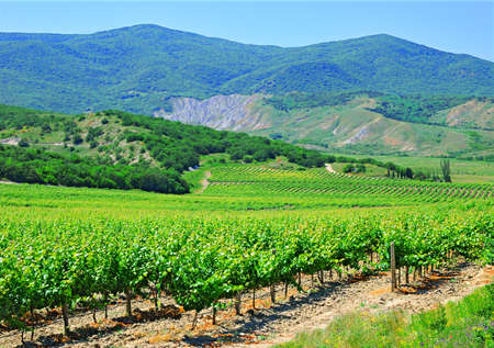 Vineyard against mountains and the dark blue sky photo