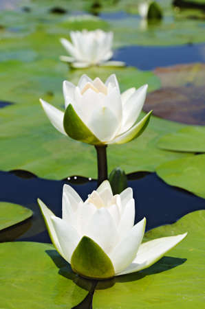 Three water lilies on the lake