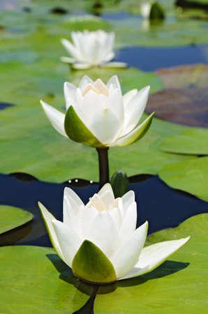 lotus petal: Three water lilies on the lake