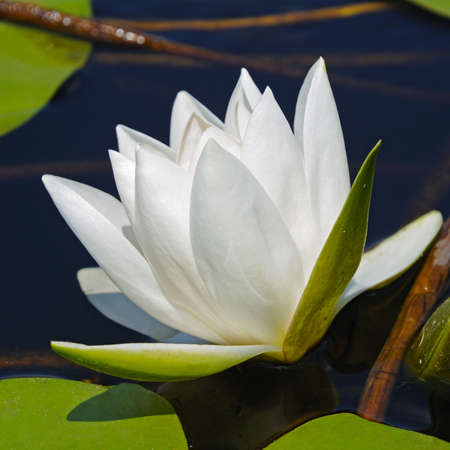 White lily in water on the lake photo