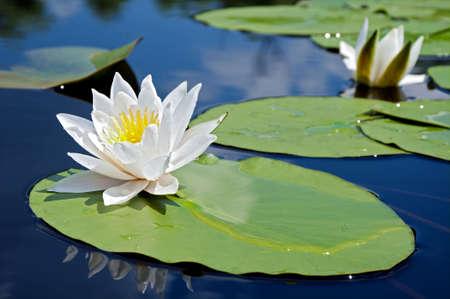 Biały Lilia w wodzie na jeziorze