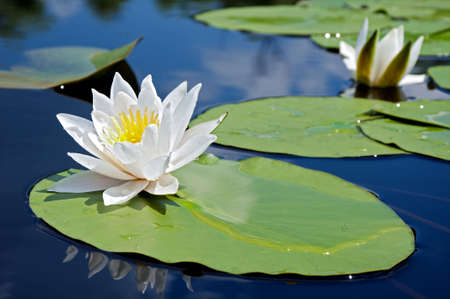 White lily in water on the lake Stock Photo