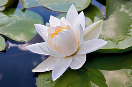 Water lily on the lake 스톡 콘텐츠