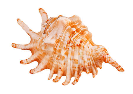 oceanic: Oceanic mollusk isolated on a white background