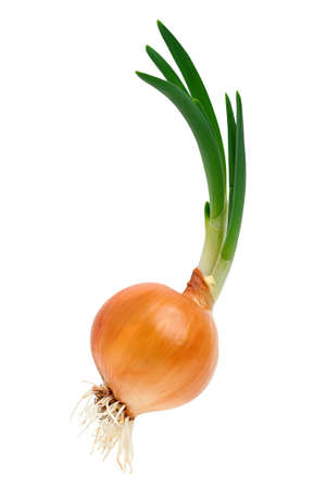 Sprouting onions with roots on a white background